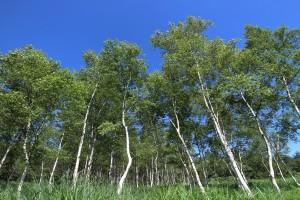 泉ヶ岳中腹にある白樺の林